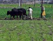 لاہور: نواحی گاؤں میں کسان روایتی انداز سے کھیت کو فصل کے لیے تیار کررہا ..