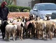 راولپنڈی: ایک چرواہا بھیر بکریاں چرانے کے لیے لیجا رہا ہے۔