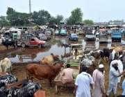 پشاور: عید قربان کی آمد کے موقع پر لگائی گئی مویشی منڈی میں بارش کا پانی ..