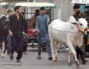 راولپنڈی: نوجوان عید قربان کے لیے گائے خرید کر لیجا رہے ہیں۔
