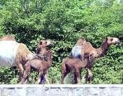 راولپنڈی: خانہ بدوش خاتون اونٹنیوں کا دودھ فروخت کے لیے جارہی ہے۔
