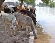 ملتان: گائیاں پیاس اور گرمی کی شدت کم کرنے کے لیے پانی پی رہی ہیں۔