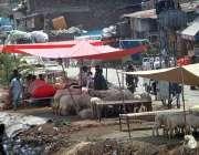 راولپنڈی: عید قربان کے پیش نظر بیوپاری قربانی کے جانور سجائے گاہکوں ..