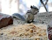 حیدر آباد: گلہری کھانے سے لطف اندوز ہو رہی ہے۔