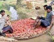 فیصل آباد:کسان  سبزی منڈی میں سپلائی سے قبل  گاجر دھوتے ہوئے