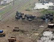 لا ہور: گوالوں نے کوٹ لکھپت کے علاقہ میں ریلوے ٹریک کے گرد جانوروں کا ..
