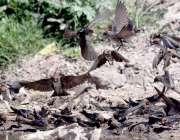 راولپنڈی: لیاقت باغ میں ابابیل پرندے دانا دنکا چگ رہے ہیں۔