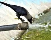 فیصل آباد: کوا گرمی او رپیاس کی شدت کم کرنے کے لیے پانی پی رہا ہے۔