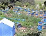 مری: فارمی شہد کے حصول کے لیے مکھیوں کے ڈبے کھلی جگہ رکھے گئے ہیں۔