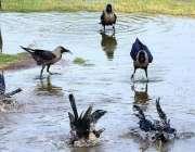 حیدرآباد: گرمی کی شدت کم کرنے کے لیے کوے نہا رہے ہیں۔