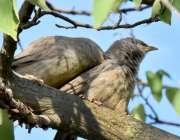 اسلام آباد: پرندوں کا جوڑا گرمی کی شدت کم کرنے کے لیے درخت کے سائے میں ..