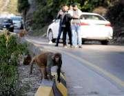مری: سیر کے لیے آنیوالے سیاح سڑک کنارے بیٹھے بندروں کی تصاویر لے رہے ..