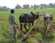 فیصل آباد: کسان روایتی انداز سے کھیت میں ہل چلا رہا ہے۔