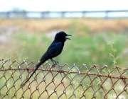 فیصل آباد: لوہے کی باڑ پر خوبصورت پرندہ بیٹھا ہے۔