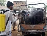 پشاور: محکمہ لائیو سٹاک کا اہلکار مویشی منڈی میں جانوروں پر کانگو وائرس ..