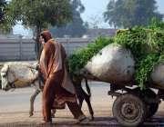 لاہور: نواحی گاؤں میں خاتون گدھا ریڑھی پر چارا لادھا جارہی ہے۔