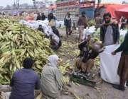 لاہور: سبزی منڈی میں محنت کش چھلیاں تول کر تھیلوں میں ڈال رہے ہیں۔