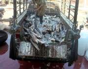 ملتان: مزدور فش مارکیٹ میں  ٹرک سے مچھلیاں اتار رہے ہیں۔
