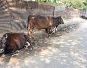 لاہور: کیری شاپ کے علاقے میں گائیں سڑک کنارے بیٹھی ہیں شہر میں جانور ..