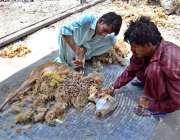 حیدر آباد: نوجوان دمبے کے بال کاٹ رہا ہے۔