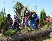 لاڑکانہ: کاشتکار اپنے کھیت میں روایتی انداز میں چاول کی فصل کوصاف کر ..