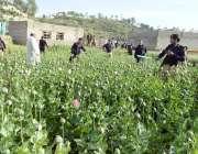 صوابی: گدون آزائی میں پولیس اہلکار افیون کی فیصل تلف کر رہے ہیں۔
