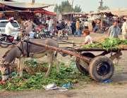اسلام آباد: فروٹ اور سبزی منڈی میں ایک نوجوان خانہ بدوش لڑکی اپنے گدھے ..