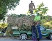 اسلام آباد: جی۔ 8 سیکٹر میں اپنے مویشیوں کے لئے چارا اکھٹا کر کے گھر ..