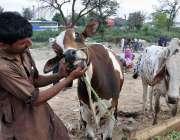 اسلام آباد: عید قرباں کی آمد کے موقع پر مویشی منڈی میں قربانی کے جانور ..