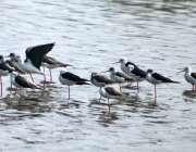 حیدرآباد: جامشورو روڈ پر پانی میں بیٹھے پرندوں کا ایک گروہ
