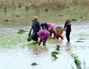 لاہور: کسان خواتین چاول کی فصل کاشت کر رہی ہیں۔