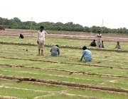 حیدر آباد: کسان سبزی کے کھیت میں روزہ مرہ کام میں مصروف ہیں۔