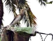 فیصل آباد: پرندہ گرمی کی شدت کے باعث چونچ کھولے بیٹھا ہے۔
