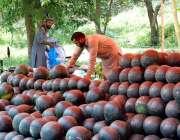 اسلام آباد: دکاندار گاہکوں کو متوجہ کرنے کے لیے تربوز سجا رہا ہے۔