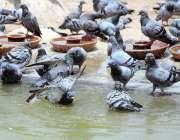 ملتان: کبوتر گرمی کی شدت کم کرنے کے لیے نہا رہے ہیں۔