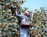 پشاور:پھل تیار ہونے کے بعد درختوں سے پھل اتارا جا رہا ہے
