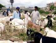 راولپنڈی: ایک شہری سڑک کنارے قربانی کے جانور پسند کر رہا ہے۔