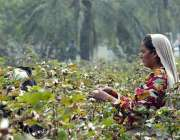 فیصل آباد: کسان عورتیں اپنے کھیت سے کپاس کاٹ رہی ہیں۔