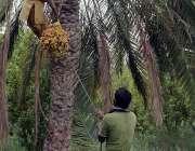 فیصل آباد: کسان تازہ کھجوریں توڑ رہا ہے۔