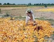 فیصل آباد: کسان چھلیاں خشک کرنے کے لیے دھوپ میں پھیلا رہا ہے۔