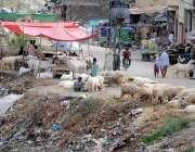 راولپنڈی: بیوپاریوں نے قربانی کے حوالے سے بکرے سرک کنارے فروخت کے لیے ..