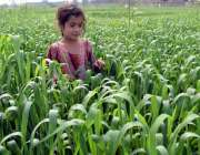 لاہور: کوٹ لکھپت میں ایک بچی کھیتوں میں کھیل رہی ہے۔