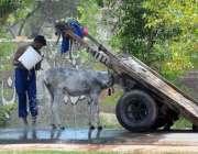 ملتان: مزدور گرمی کی شدت کم کرنے کے لیے اپنے گدھے کو نہلا رہا ہے۔