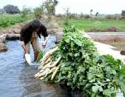 فیصل آباد: کسان مولیاں دھونے میں مصروف ہیں۔
