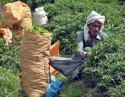 فیصل آباد: کسان کھیت سے سبز مرچین چننے میں مصروف ہے۔