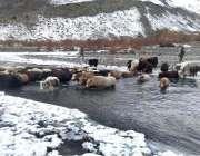 گلگت: بھینسیں دریا کراس کر رہی ہیں۔