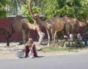 لاہور: خانہ بدوش اونٹنی کا دودھ فروخت کرنے کے لیے سڑک کنارے بیٹھے ہیں۔