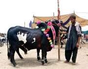 حیدر آباد: بیوپاری قربانی کا مویشی فروخت کے لیے گاہکوں کا منتظر ہے۔