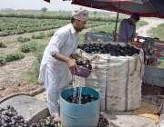 فیصل آباد: کسان مارکیٹ میں سپلائی کے لیے بینگن دھو رہا ہے۔