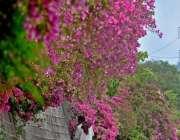 اسلام آباد: وفاقی دارالحکومت میں سڑک کنارے لگے موسمی پھول دلکش منظر ..